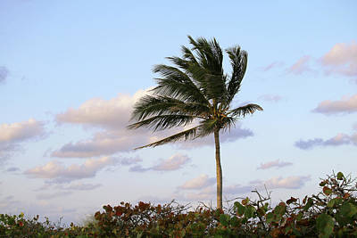 Photograph - Royal Palm Tree by Art Block Collections