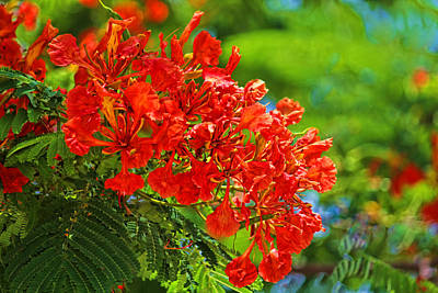 Photograph - Royal Poinciana Blossom by HH Photography of Florida