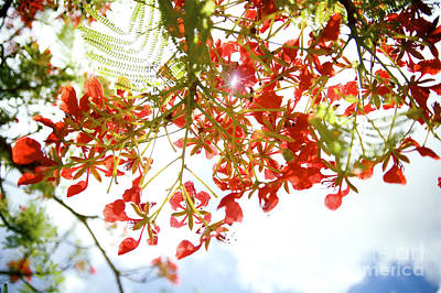 Royal Poinciana Photograph - Royal Poinciana Branches by Kicka Witte - Printscapes