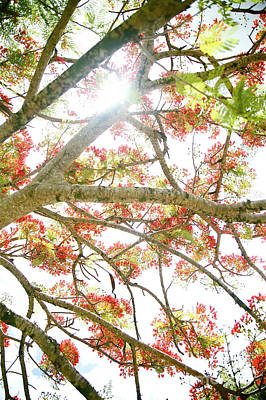 Royal Poinciana Art Print by Kicka Witte - Printscapes