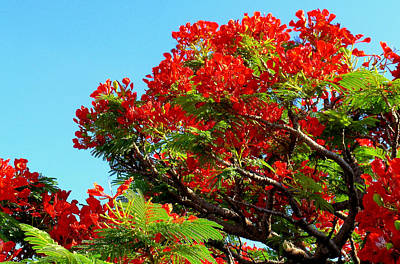 Royal Poinciana Orange Art Print by James Temple