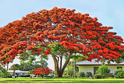 Photograph - Royal Poinciana Tree by HH Photography of Florida
