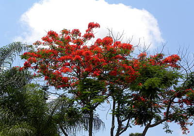 Photograph - Royal Poinciana Tree by Terri Mills