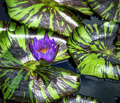 Photograph - Royal Purple by Dennis Baswell