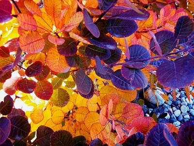 Photograph - Royal Purple Smoke Bush by Sharon Duguay
