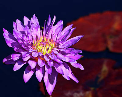 Photograph - Royal Purple Water Lily by Judy Vincent