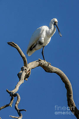 Photograph - Royal Spoonbill 01 by Werner Padarin