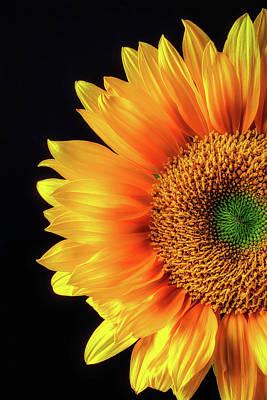 Royal Sunflower Art Print