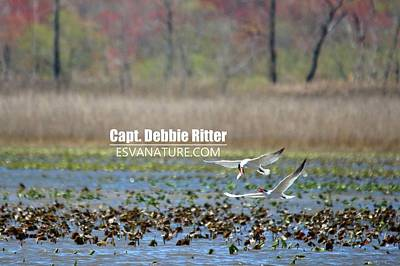 Photograph - Royal Tern 1068 by Captain Debbie Ritter