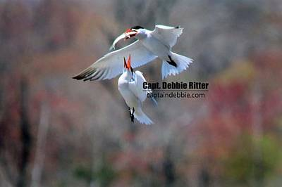 Photograph - Royal Tern 1069 by Captain Debbie Ritter