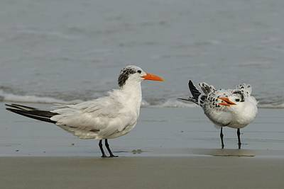 Photograph - Royal Tern Adult And Young Bird by Bradford Martin