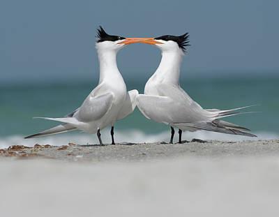 Photograph - Royal Tern Courtship by Jim Gray