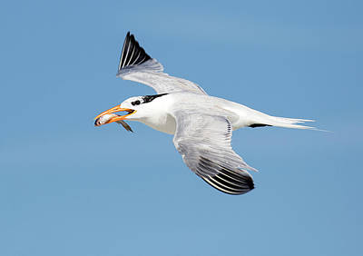 Photograph - Royal Tern Delivery by Art Cole