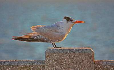 Photograph - Royal Tern by HH  of Florida