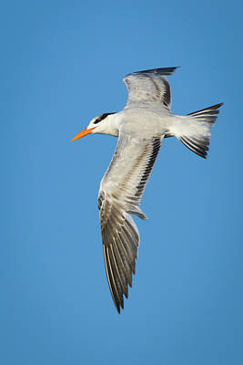 Photograph - Royal Tern In Flight by Dawn Currie