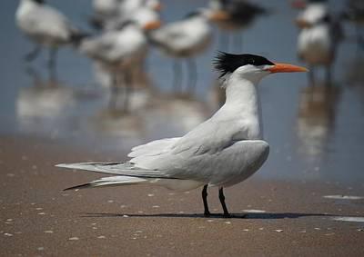 Photograph - Royal Tern by Mandy Shupp