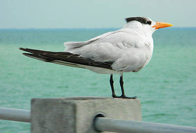 Photograph - Royal Tern On The Lookout At De Soto Park by Emmy Vickers