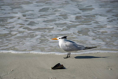 Photograph - Royal Tern  by Steve Gravano