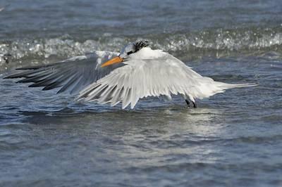 Photograph - Royal Tern Taking Flight by Bradford Martin