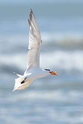 Photograph - Royal Tern With Royal Catch by Alan Lenk