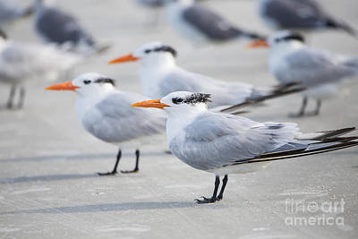 Linda King Photograph - Royal Terns 7056 by Linda King