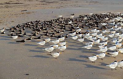 Royal Terns At Sebastian Inlet In Florida Art Print by Allan  Hughes