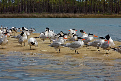 Photograph - Royal Terns On Sand Spit by Sally Weigand