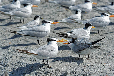 Photograph - Royal Terns by Paul Mashburn