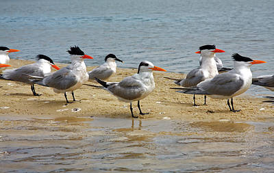 Photograph - Royal Terns by Sally Weigand
