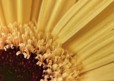 Photograph - Royal Yellow Gerbera Daisy by Nick Mares