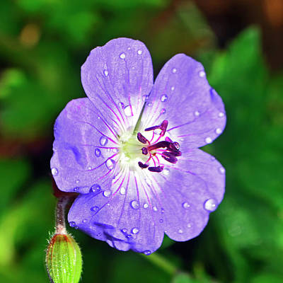 Photograph - Rozanne Geranium 002 by George Bostian