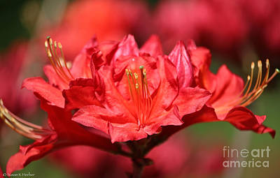 Photograph - Ruby Azalea by Susan Herber