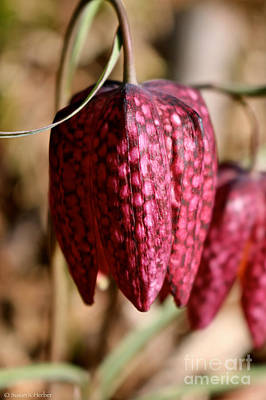 Photograph - Ruby Checkered Lily by Susan Herber