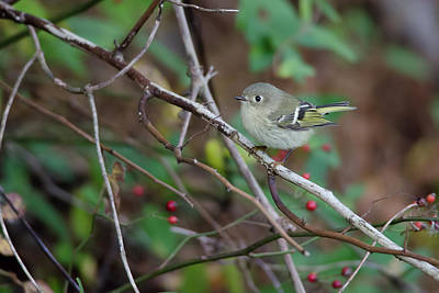 Avian Photograph - Ruby-crowned Kinglet by Benjamin DeHaven