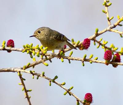 Ruby-crowned Kinglet Birds Photograph - Ruby-crowned Kinglet by Charlaine Jean