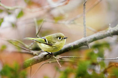 Warbler Photograph - Ruby Crowned Kinglet by Christina Rollo