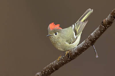 Photograph -  Ruby-crowned Kinglet Display by Mircea Costina Photography