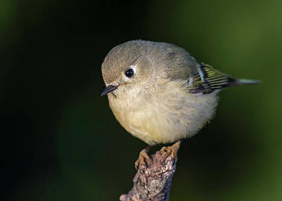 Wall Art - Photograph - Ruby-crowned Kinglet by Phil Thach