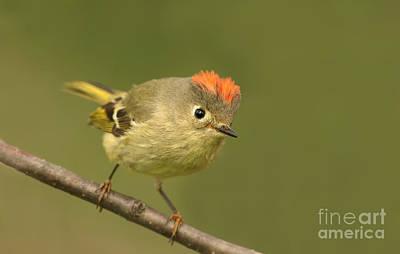 Ruby-crowned Kinglet Birds Photograph - Ruby-crowned Kinglet Portrait by Mircea Costina Photography