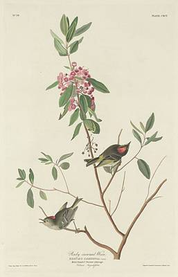 Wren Drawing - Ruby-crowned Wren by Dreyer Wildlife Print Collections