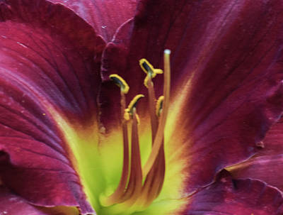 Photograph - Ruby Day Lily by Buddy Scott