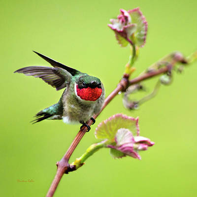 Photograph - Ruby Garden Hummingbird by Christina Rollo