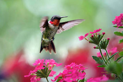 Birds Royalty-Free and Rights-Managed Images - Ruby Garden Jewel by Christina Rollo