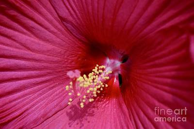Photograph - Ruby Red Hibiscus  by Jeannie Rhode