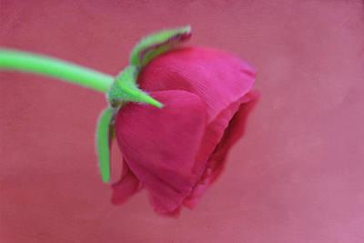 Photograph - Ruby Red Ranunculus 3.0 by Kay Kochenderfer