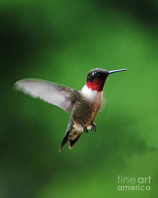 Photograph - Ruby Red Throated Hummingbird by Jai Johnson