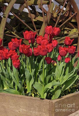 Photograph - Ruby Red Wheel Tulips by Louise Magno