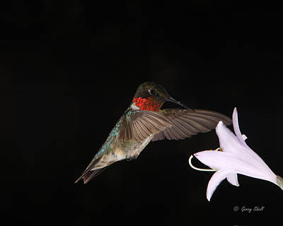 Photograph - Ruby The Nectar Seeking Missile by Gerry Sibell