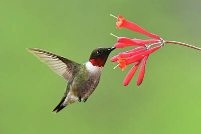 Photograph - Ruby-throated Hummer by Alan Lenk