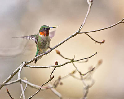 Animals Royalty-Free and Rights-Managed Images - Ruby Throated Hummer by Rob Travis